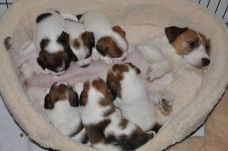 JRT Puppies